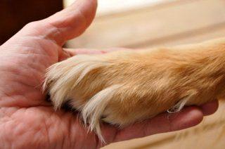 cura del piedino del cane - sopra